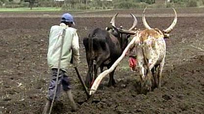 Foto eines Bauern, der mit zwei Ochsen das Feld pflügt