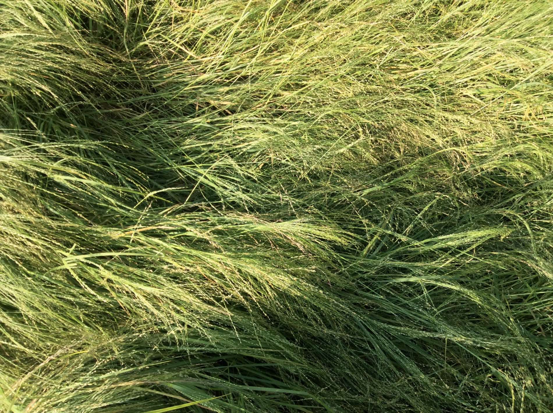 Teff Getreide Zwerghirse