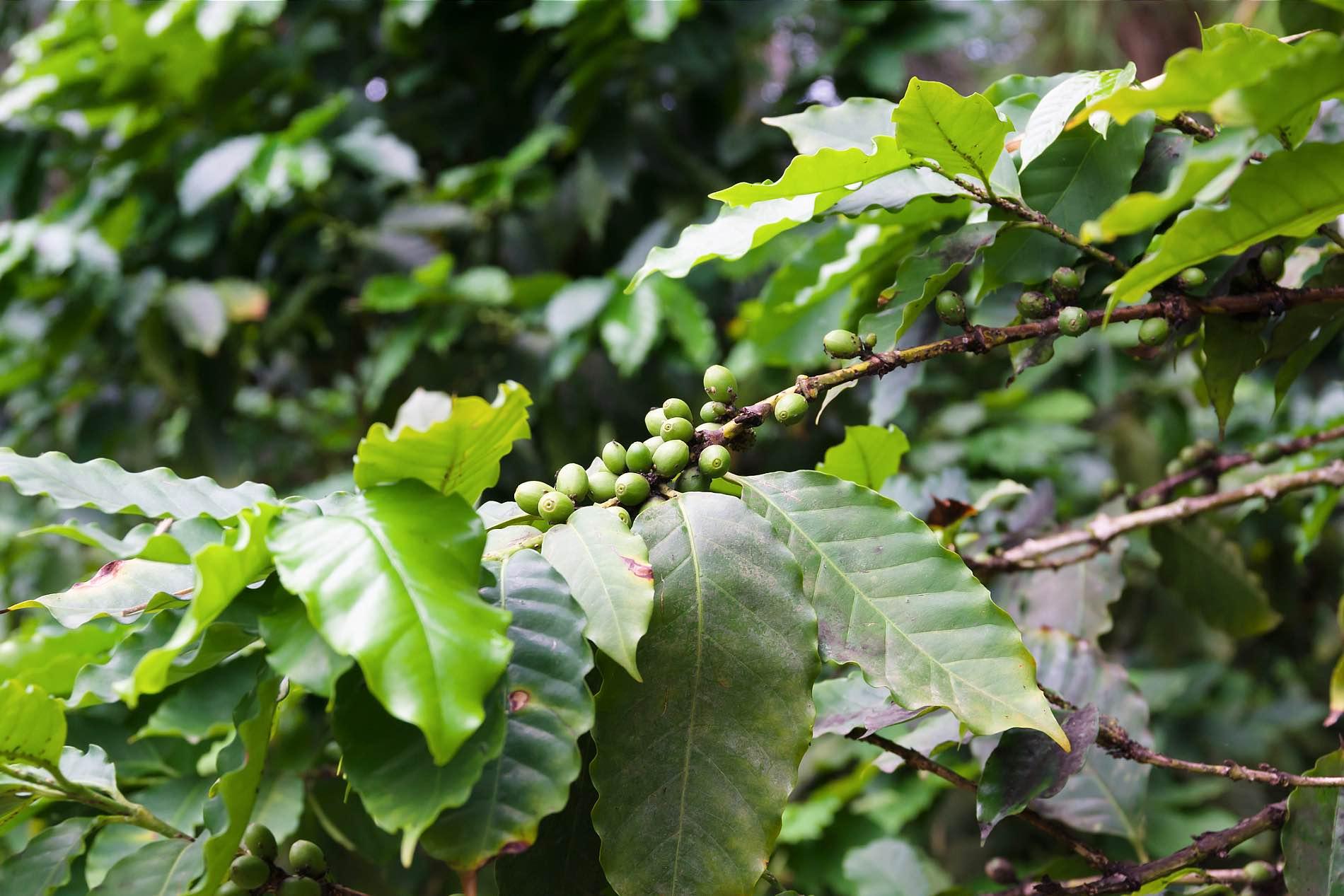 Foto einer Kaffeepflanze