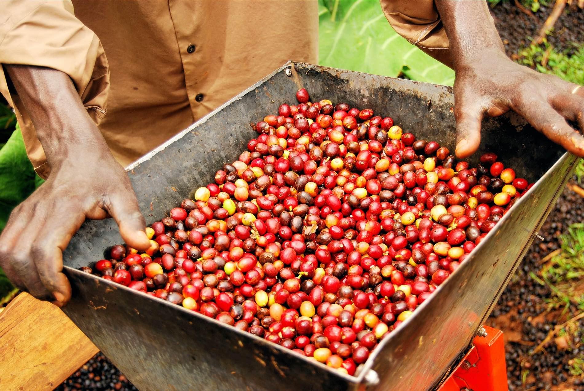 Dreamstime Habesha Coffee Ethiopian 12541762 Web