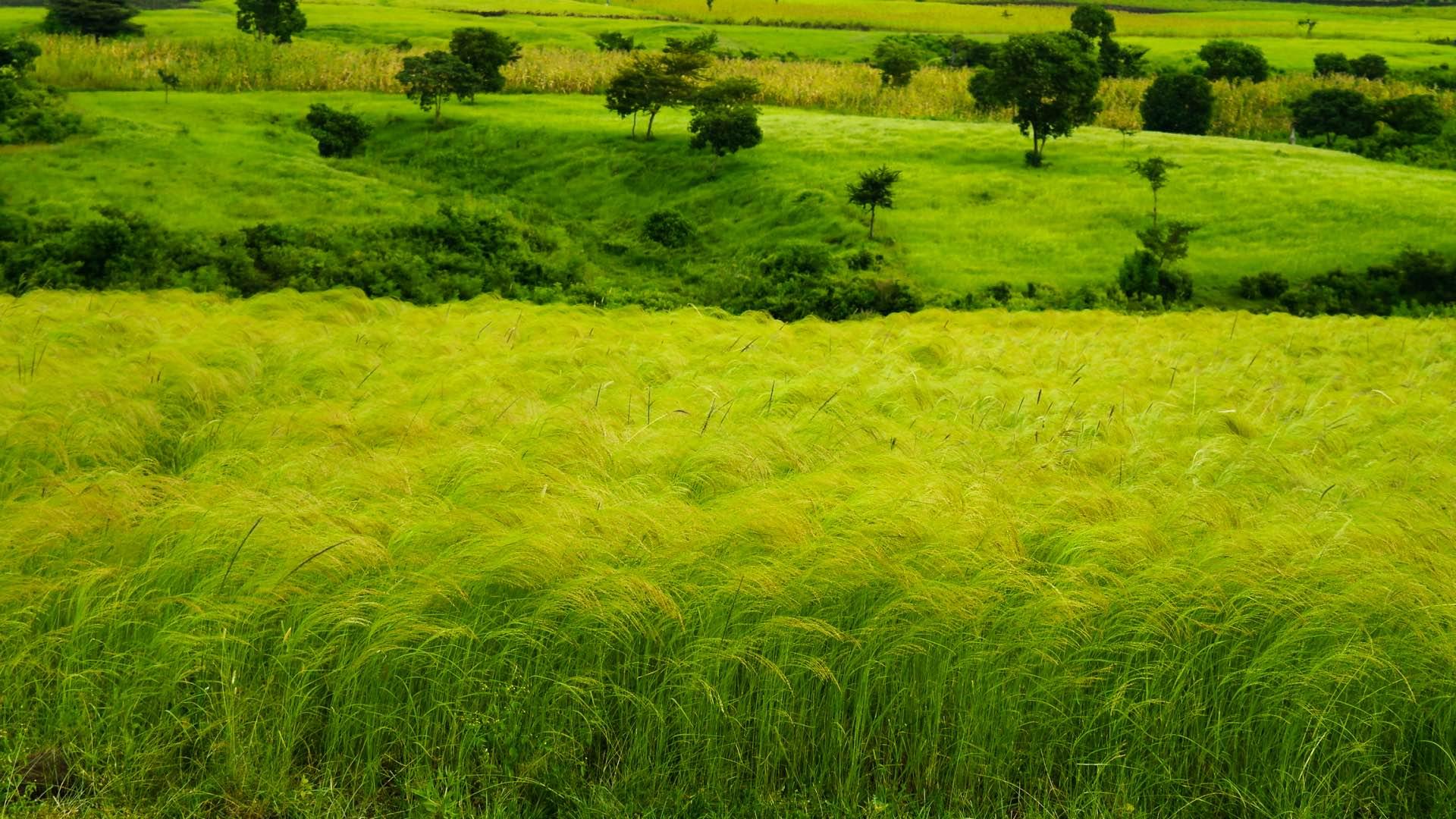 Teff Anbau in Äthiopien Tefffeld Zwerghirse Hirse